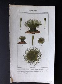 Turpin C1820 Antique Hand Col Sea Life Print. Zoanthids, Corals 32